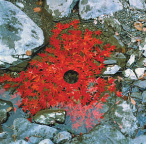Andy Goldsworthy, Japanese Maple